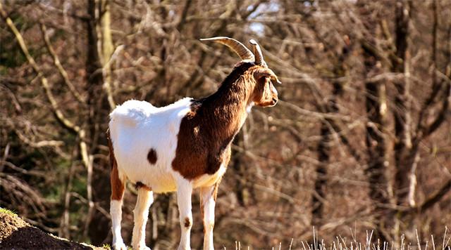 波尔多羊.jpg